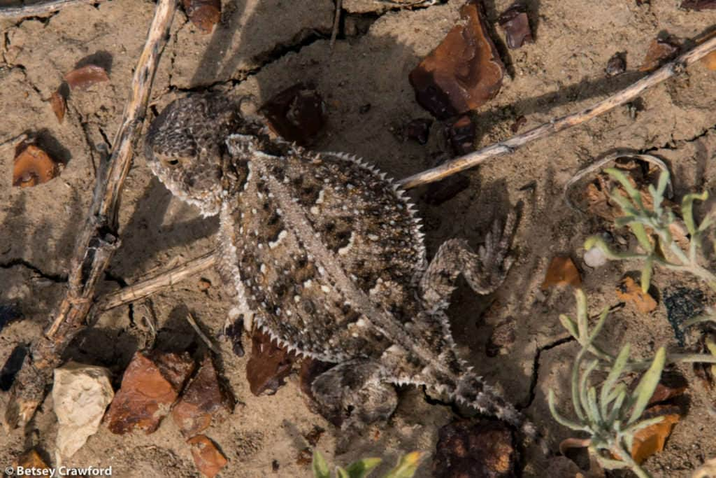 A horned lizard In the Pawnee National Grasslands, northeastern Colorado, by Betsey Crawford