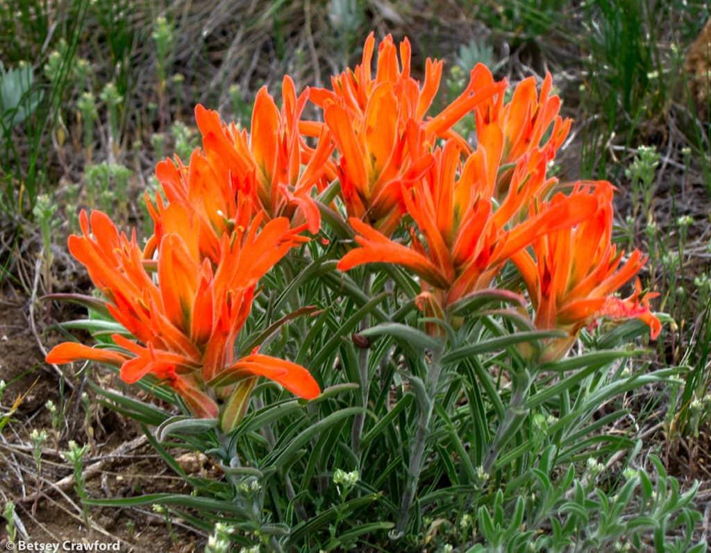 Orange paintbrush (Castilleja integra) Green Mountain Park, Lakewood, Colorado by Betsey Crawford