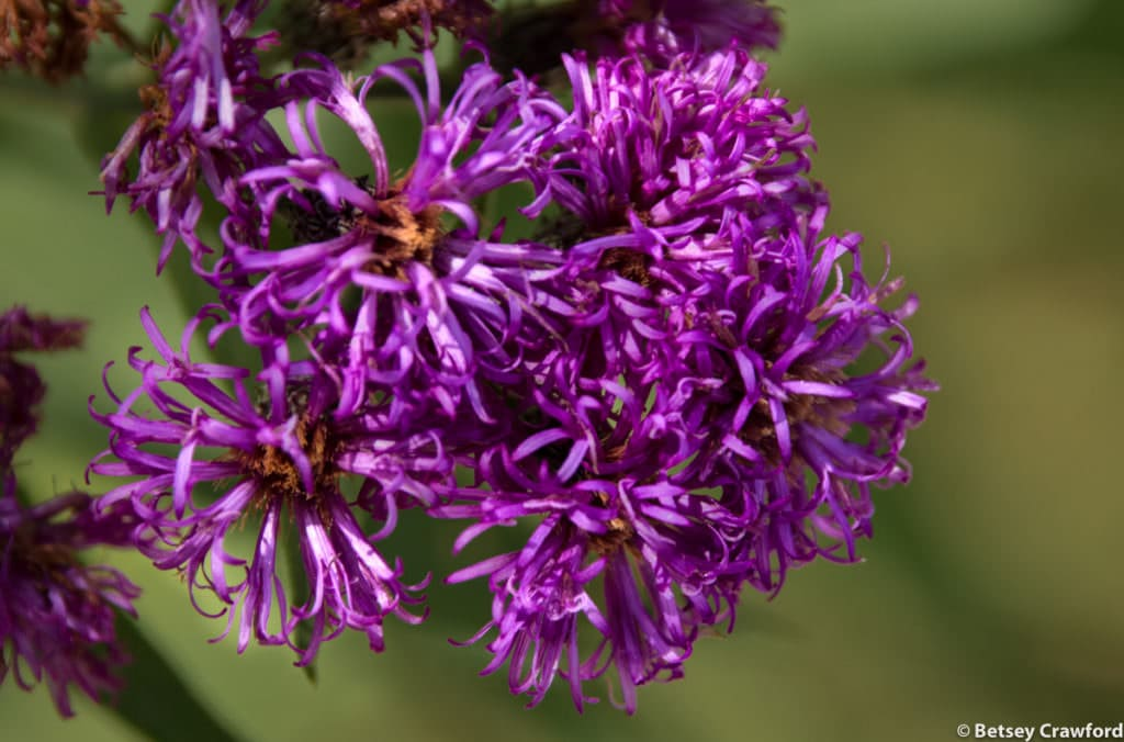 Western ironweed (Vernonia baldwinii) at the Konza Prairie Biological Station in the Flint Hills of Kansas by Betsey Crawford