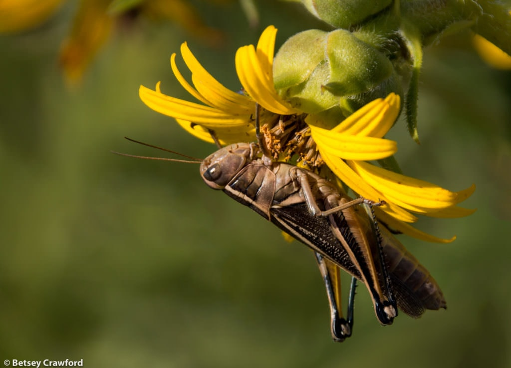 Whole-leaf rosinweed (Silphium integrifolium) and grasshopper taken at the Konza Prairie Biological Station in the Flint Hills prairie in central Kansas by Betsey Crawford