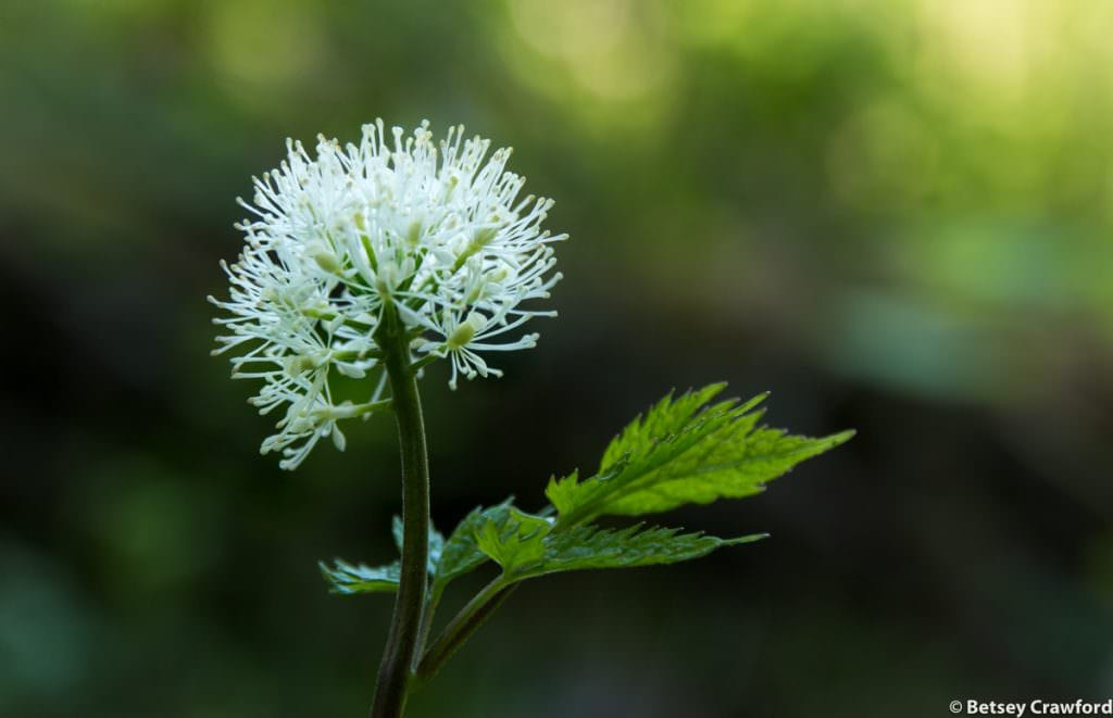 Baneberry (Actea rubra) in Settlers Grove of Ancient Cedars in Murray, Idaho by Betsey Crawford