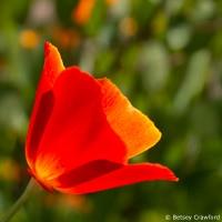 California poppy (Eschscholzia californica in a private garden, Marin County, California by Betsey Crawford