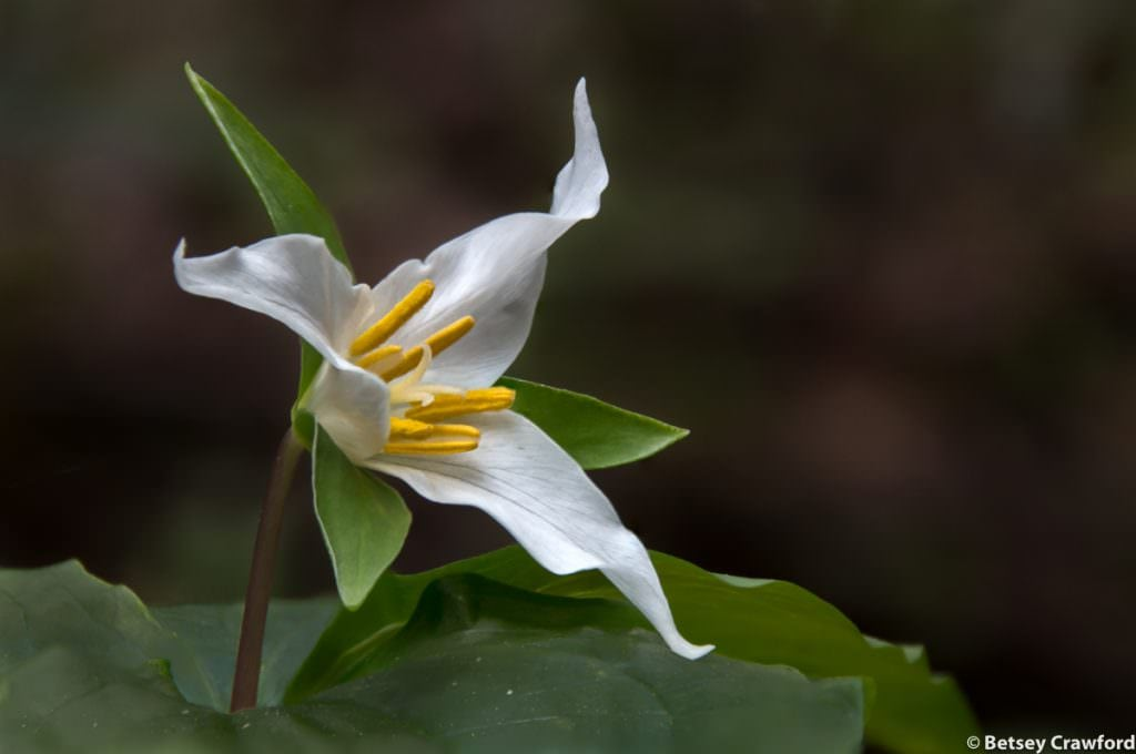 Pacific trillium (Trillium ovatum) in Blithedale Canyon, Larkspur, California by Betsey Crawford