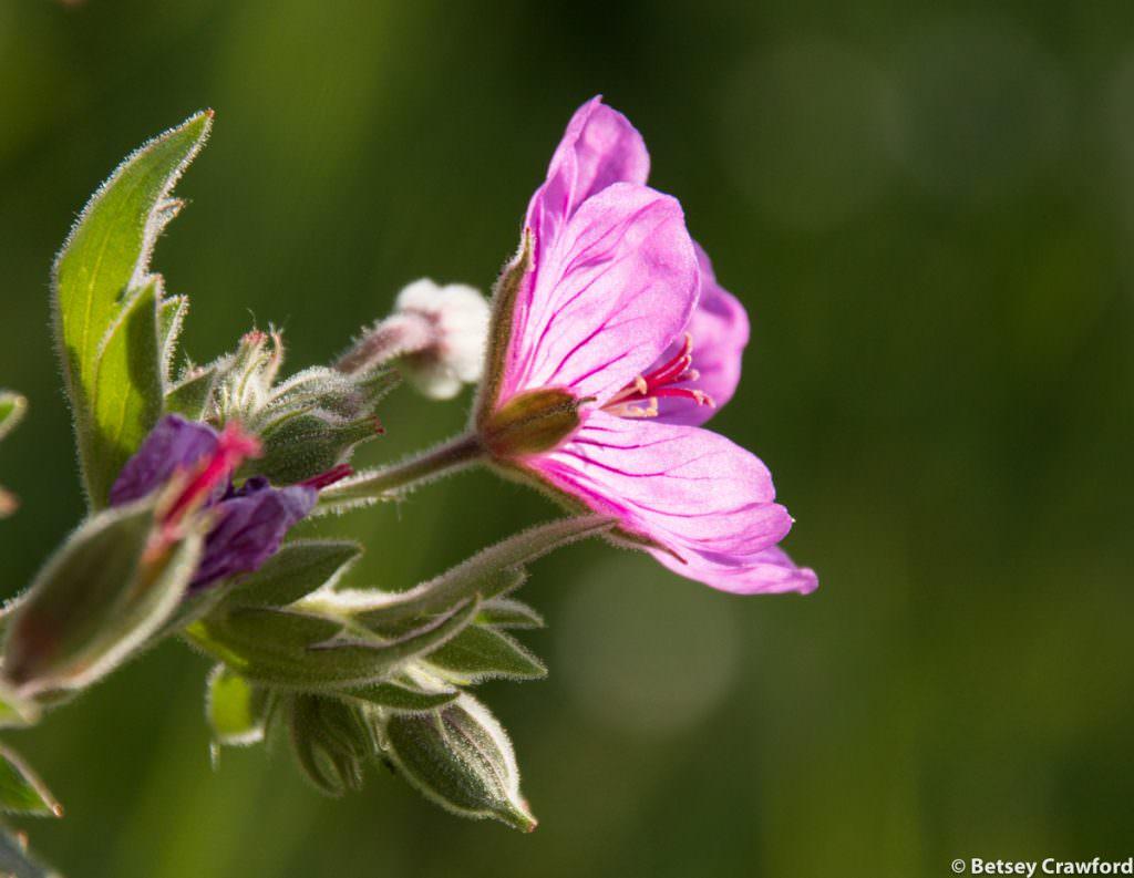 Sticky geranium (Geranium viscosissimum) in Waterton Lakes National Park, Alberta by Betsey Crawford