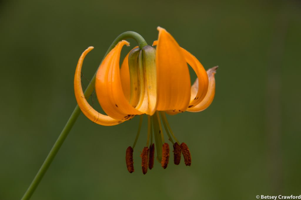 Orange flowers-Columbia lily (Lilium columbarium) taken at a roadside stop in southern British Columbia by Betsey Crawford