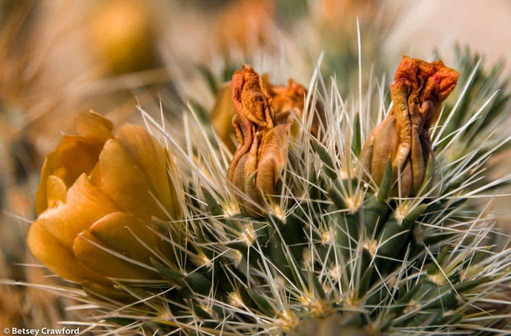 Orange flowers-Gander's cholla (Cholla cylindropuntia ganderi) taken in the Anza Borrego Desert in southern California by Betsey Crawford