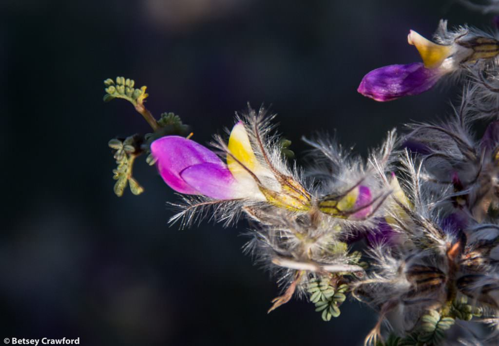 Feather plume (Dalea formosa) Organ Mountains, New Mexico by Betsey Crawford