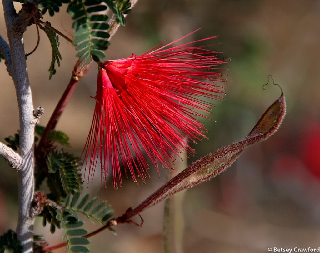Fairy duster (Calliandra eriophylla) Anza Borrego Desert, California by Betsey Crawford
