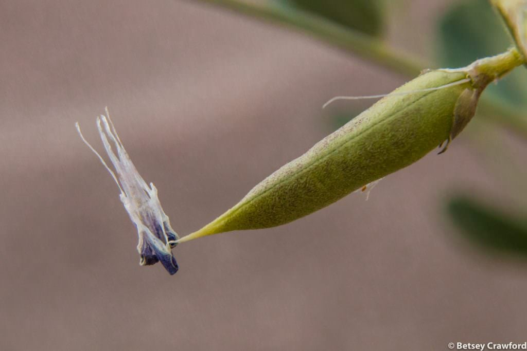A seedpod from the Fabaceae, or legume, family, in the Anza Borrego Desert in southern California by Betsey Crawford