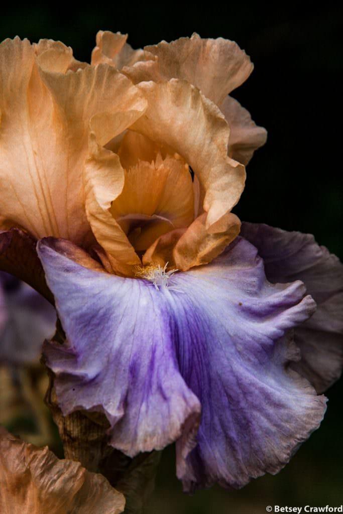 Bicolor bearded iris growing in Manito Park, Spokane, Washington by Betsey Crawford