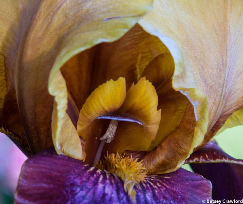 Bearded iris growing in Manito Park, Spokane, Washington by Betsey Crawford