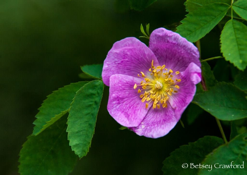 A wild rose, Rosa woodsii, in Coeur d'Alene, Idaho by Betsey Crawford