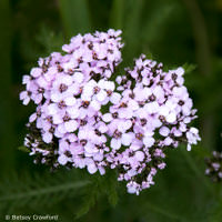 Norther yarrow (Achillea borealis) in Seward, Alaska by Betsey Crawford