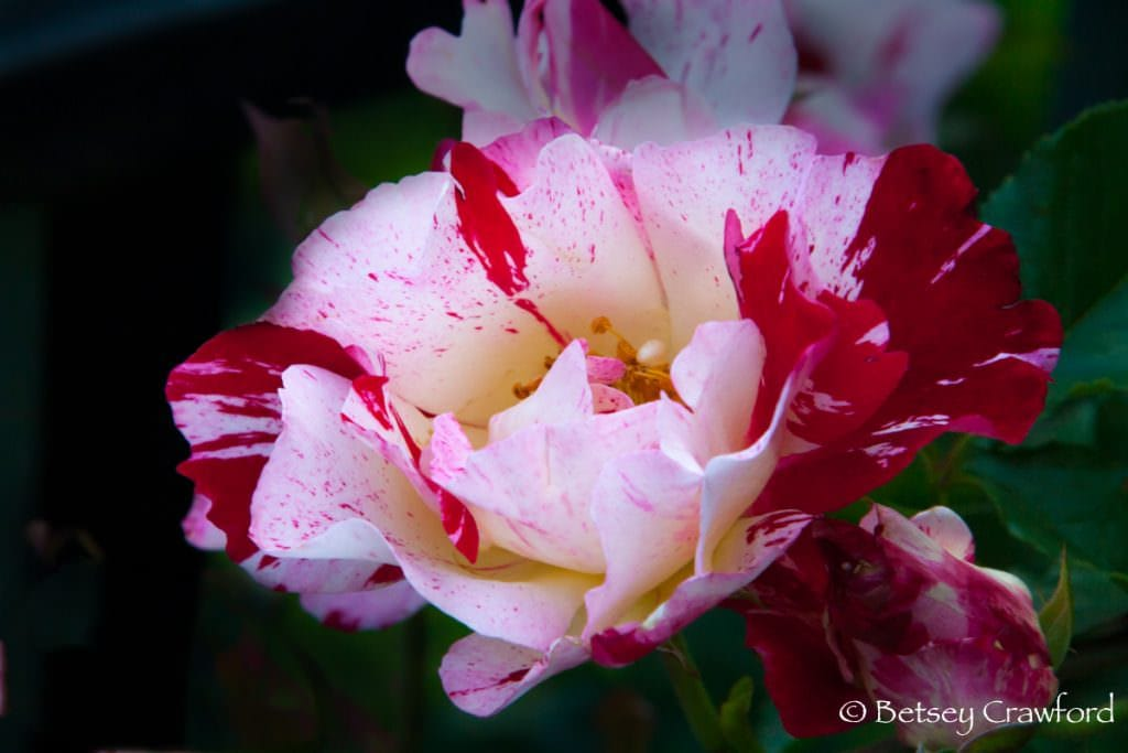 Red and white Fourth of July roses in Manito Park, Spokane, Washington by Betsey Crawford