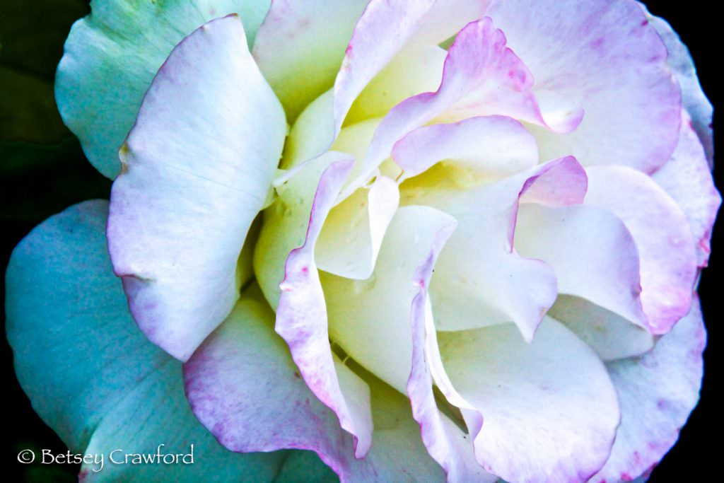 White and pink rose in Manito Park, Spokane, Washington, by Betsey Crawford