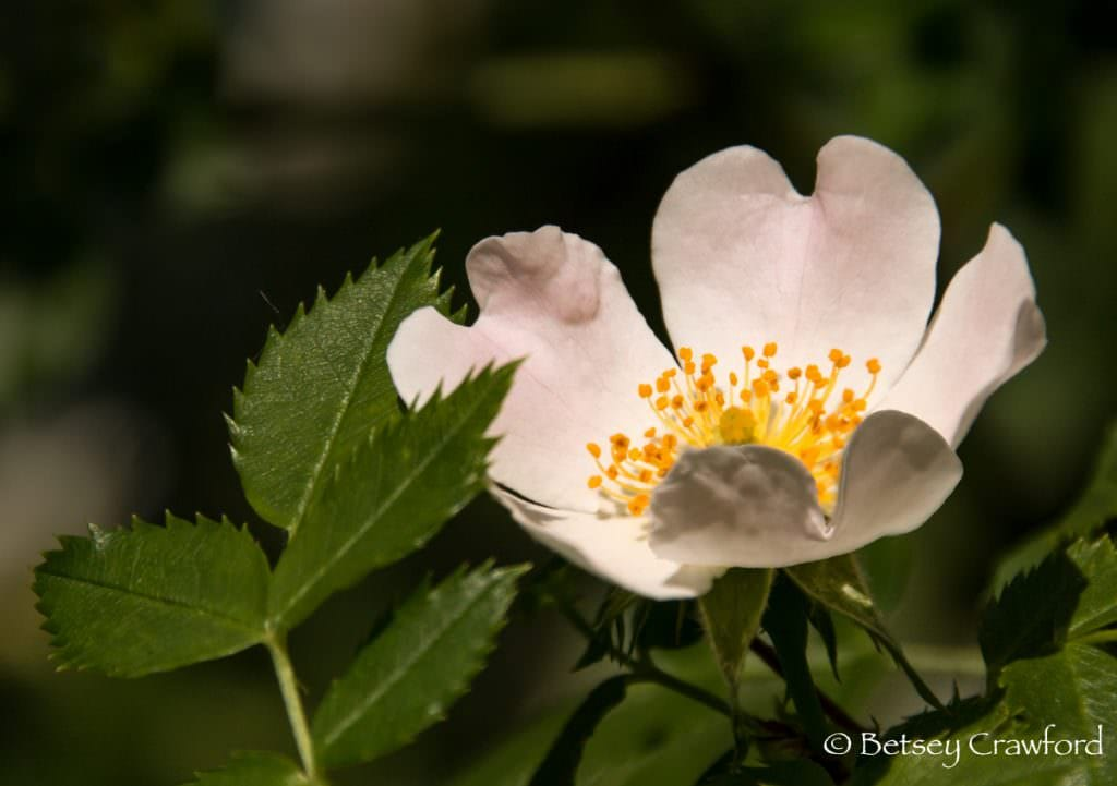 White single rose in Manito Park, Spokane, Washington, by Betsey Crawford