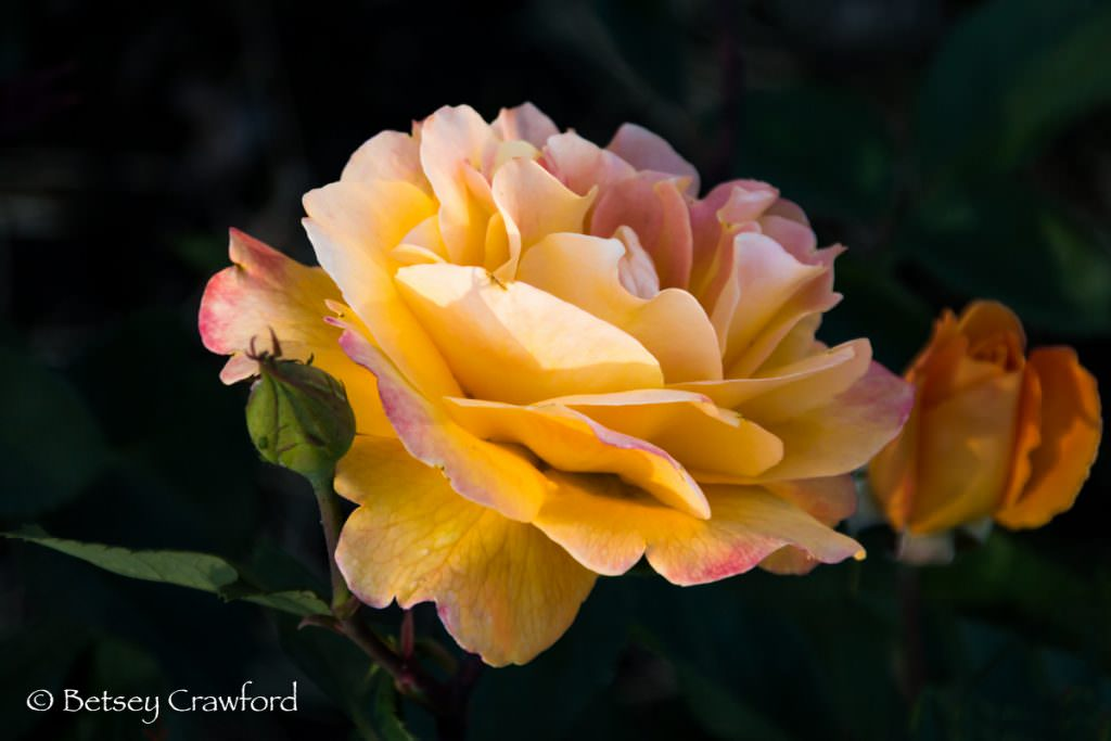Yellow and pink rose in Manito Park, Spokane, Washington by Betsey Crawford