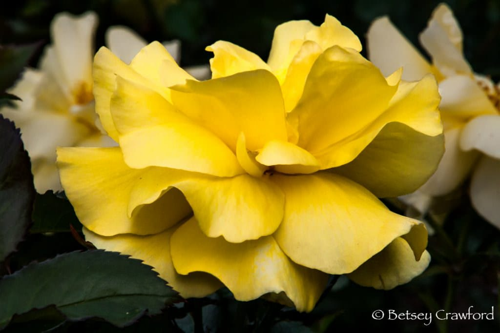 Yellow rose in full bloom in Manito Park, Spokane, Washington, by Betsey Crawford