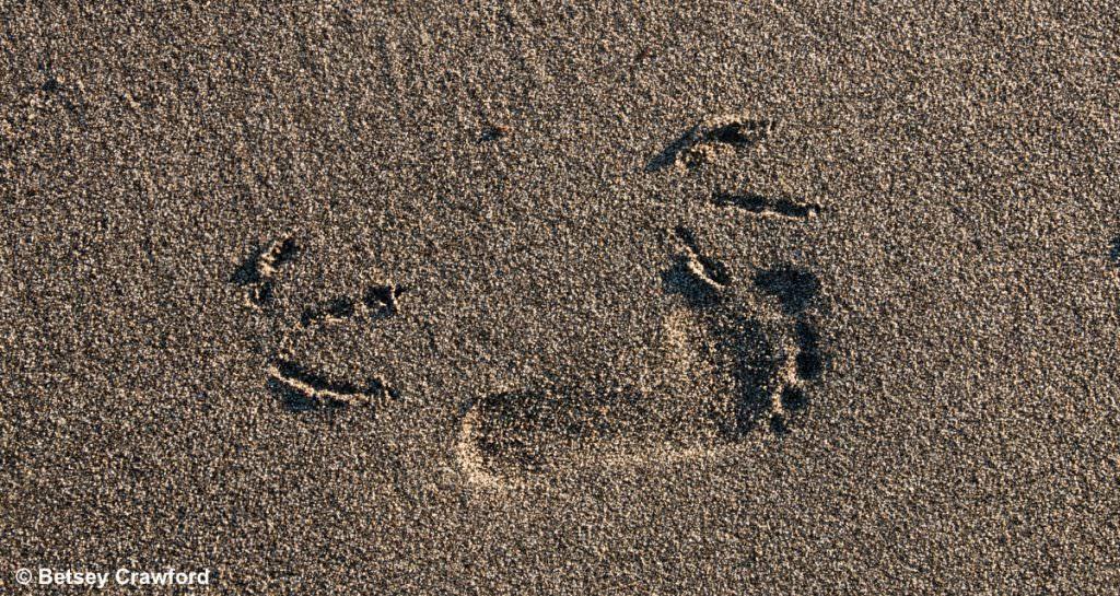 Human and seagull footprints in the dirt in Kenai, Alaska