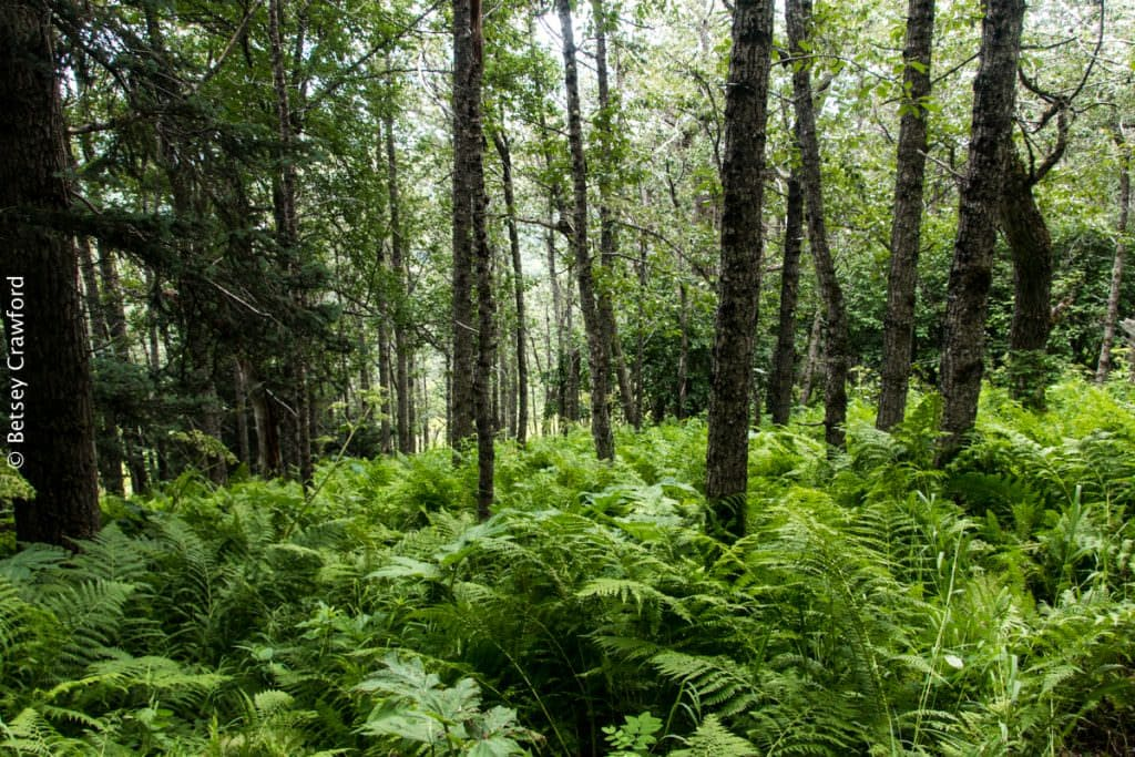 A fern-filled forest at the Wynn Nature Center in Homer, Alaska. Forests are among the most prolific dirt producers. By Betsey Crawford