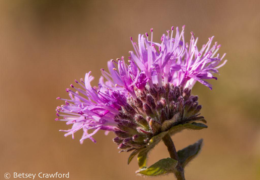 Plant diversity: Coyote mint (Mondarda villosa) on Ring Mountain in Tiburon, California by Betsey Crawford