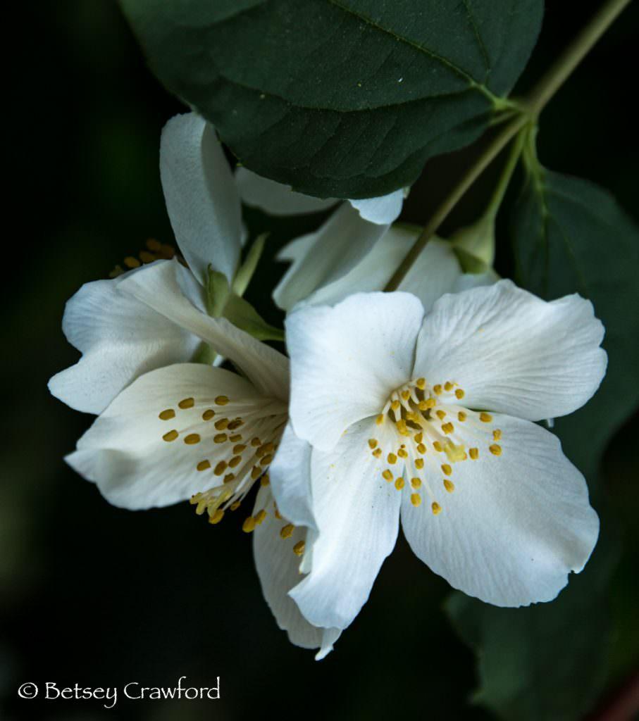 California mock orange (Philadelphus lewisii) white flowered native plants, El Sobrante, California by Betsey Crawford