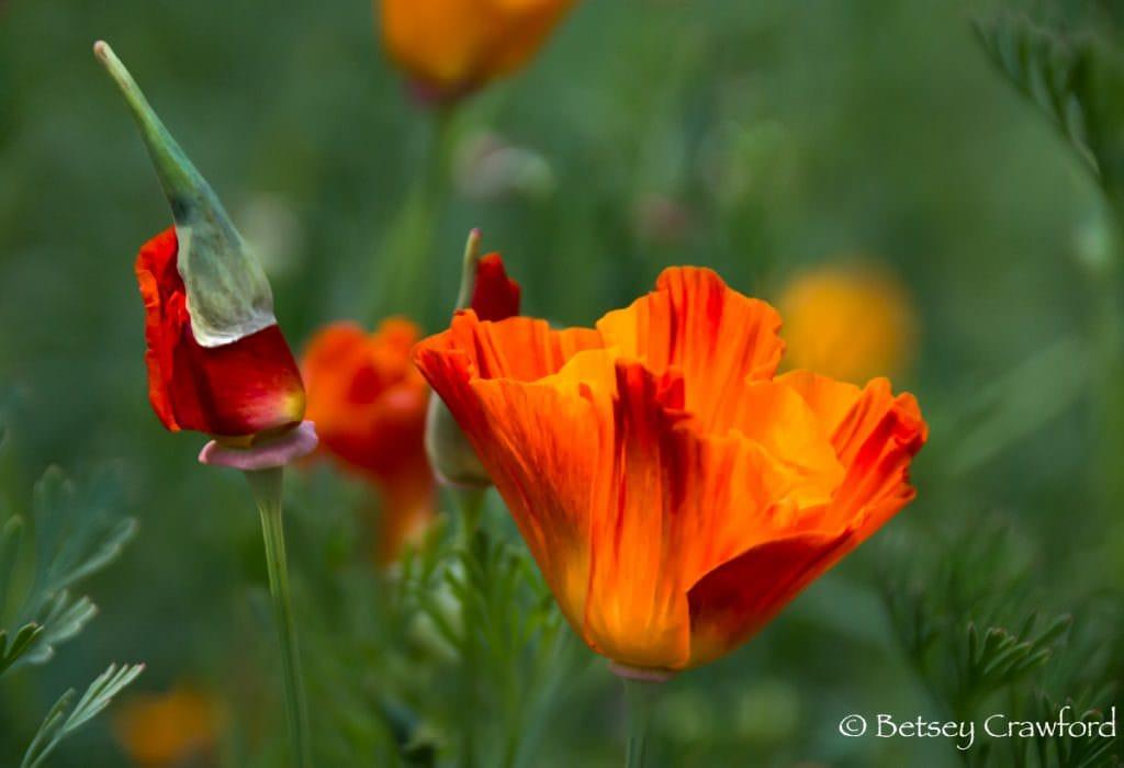 California poppy (Eschscholzia californica) orange native plants, El Soprante, California by Betsey Crawford