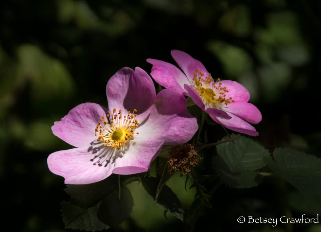 California wild rose (Rosa California) pink flowered native plants in Novato, California by Betsey Crawford