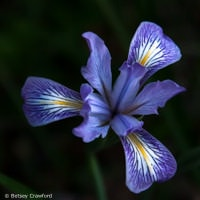 Pacific coast iris (Iris douglasiana) on Ring Mountain, Tiburon, California by Betsey Crawford