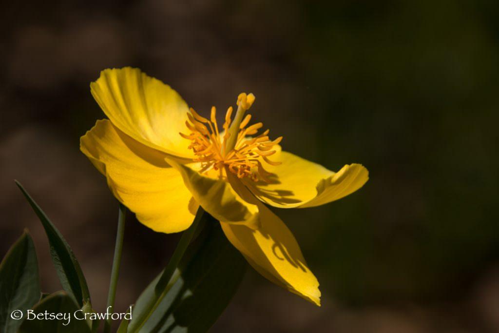 Bush poppy (Dendromecon rigidus) yellow flowered native plants in San Ramon, California by Betsey Crawford