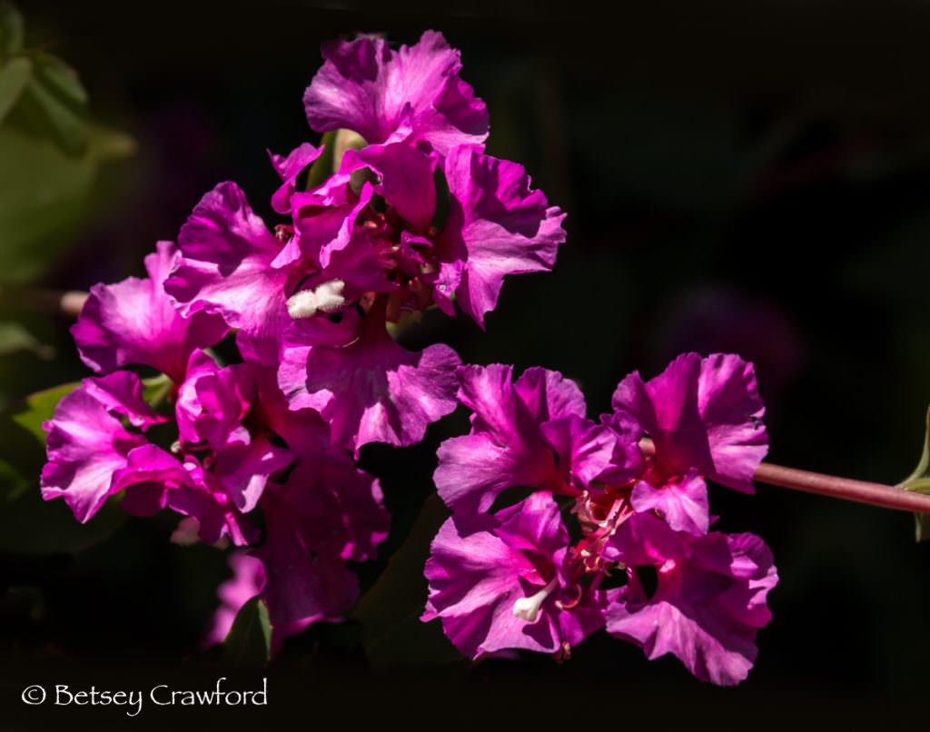 Mt. Garland clarkia (Clarkia unguiculata 'Mt. Garland'), magenta-flowered native plants in Novato, California by Betsey Crawford