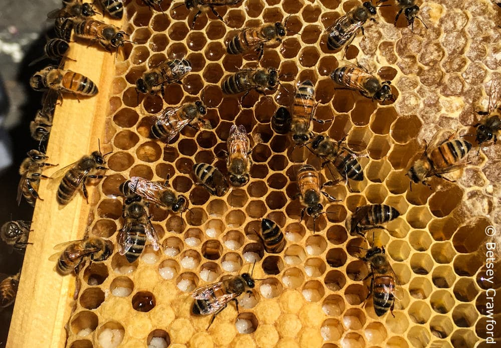 Beehive frame with honey, covered by beeswax, in the upper right. In the lower right are cups with white larva, and capped cups that house the pupae. You can see the glint of light on the cups holding nectar, on its way to becoming honey. The larger cups at the bottom right are for drones. Photo by Betsey Crawford