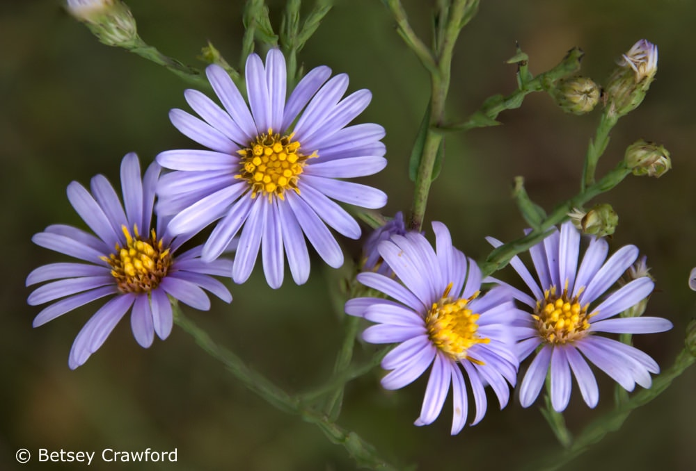 Bees love smooth aster (Aster laevis) taken at a rest stop planted with native plants in Wisconsin by Betsey Crawford