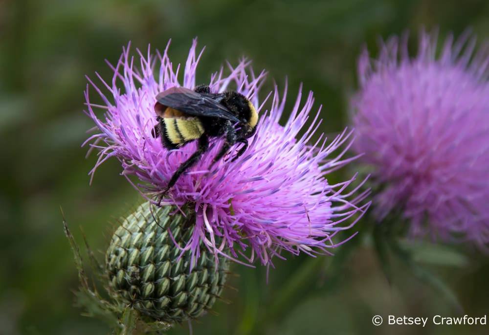 Bees love tall thistle (Cirsium altissimo) shown with a bee, Golden Prairie, Golden City, Missouri by Betsey Crawford