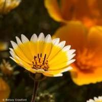 Tidy tips (Layia platyglossa) with California poppy (eschscholzia california) on Ring Mountain, Tiburon, California by Betsey Crawford