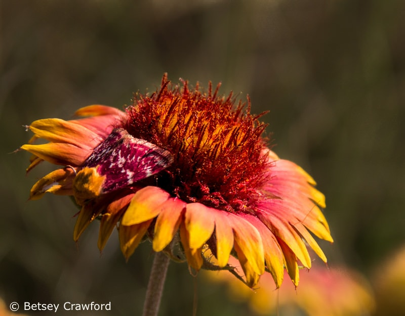 Blanket flower (Gaillardia pulchella) and friend, Smoky Valley Ranch, Oakley, Kansas by Betsey Crawford