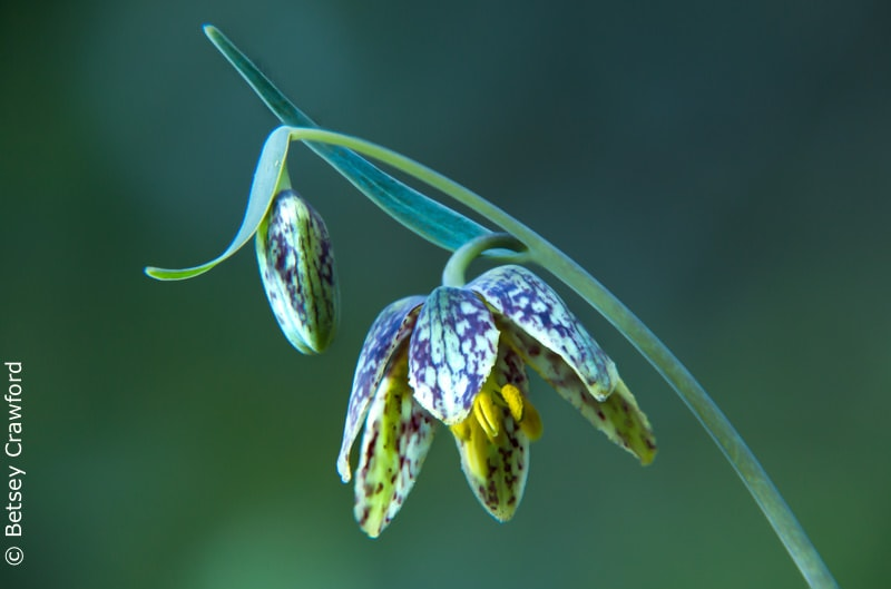 Checker lily (Fritillaria affinis) King Mountain, Larkspur, California by Betsey Crawford
