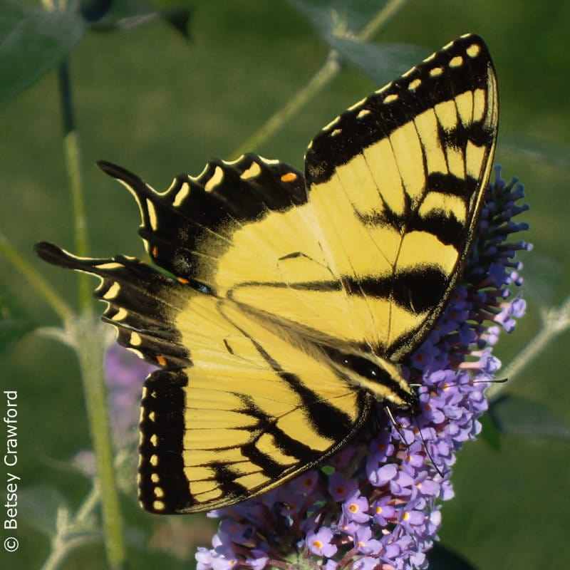 Eastern tiger swallowtail (Papilon glaucus) in East Hampton, New York by Betsey Crawford
