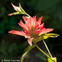 Red paintbrush (Castilleja rhexifolia) taken in Waterton Lakes National Park, Alberta, Canada by Betsey Crawford