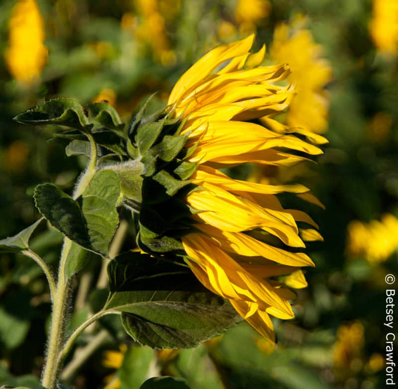 A sunflower (Helianthus annuus), a memeber of the Asteracea family, In Cape Breton, Nova Scotia, Canada by Betsey Crawford