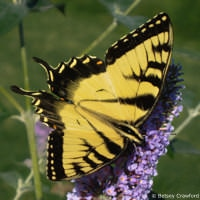 Eastern tiger swallowtail butterfly in East Hampton, New York by Betsey Crawford