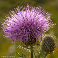 Pasture thistle (Cirsium discolor) in the Curtis Prairie, Madison, Wisconsin by Betsey Crawford