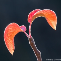 Autumn peach leaves at Genesis Farm, Blairstown, New Jersey, by Betsey Crawford