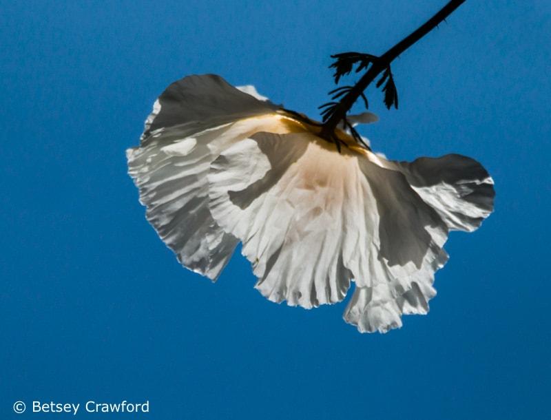 White flowers: Fried egg plant (Romneya trichocalyx) San Ramon, California by Betsey Crawford