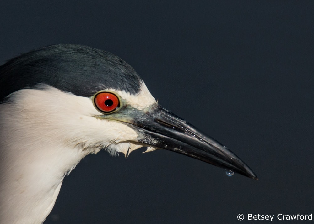 Black crowned night heron in Corte Madera Marsh, Corte Madera, California by Betsey Crawford