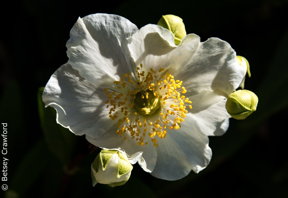 Bush anemone (Carpenteria californica) white flowered native plants, San Ramon, California by Betsey Crawford