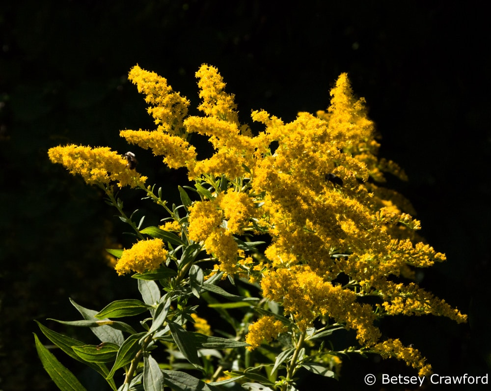 Canada goldenrod (Solidago canadensis) Westport, New York by Betsey Crawford