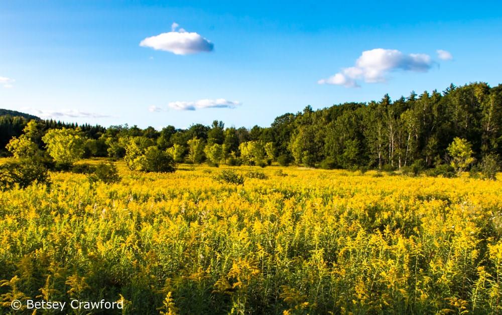 Canada goldenrod (Solidago canadensis) Westport, New York by Betsey Crawford
