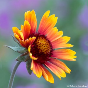 Blanket flower (Gaillardia aristata), a member of the Asteraceae family, in Coeur d'Alene, Idaho by Betsey Crawford