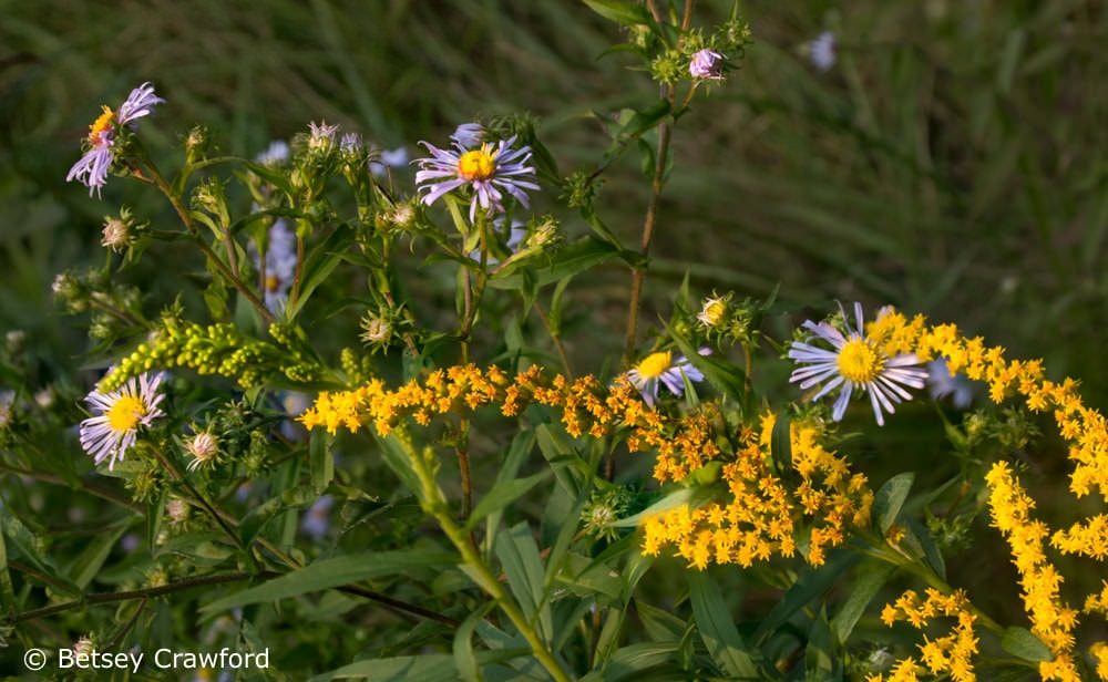 Late purple aster (Symphyotrichum patens) and Canada goldenrod (Solidago canadensis) along the road in northern New York by Betsey Crawford
